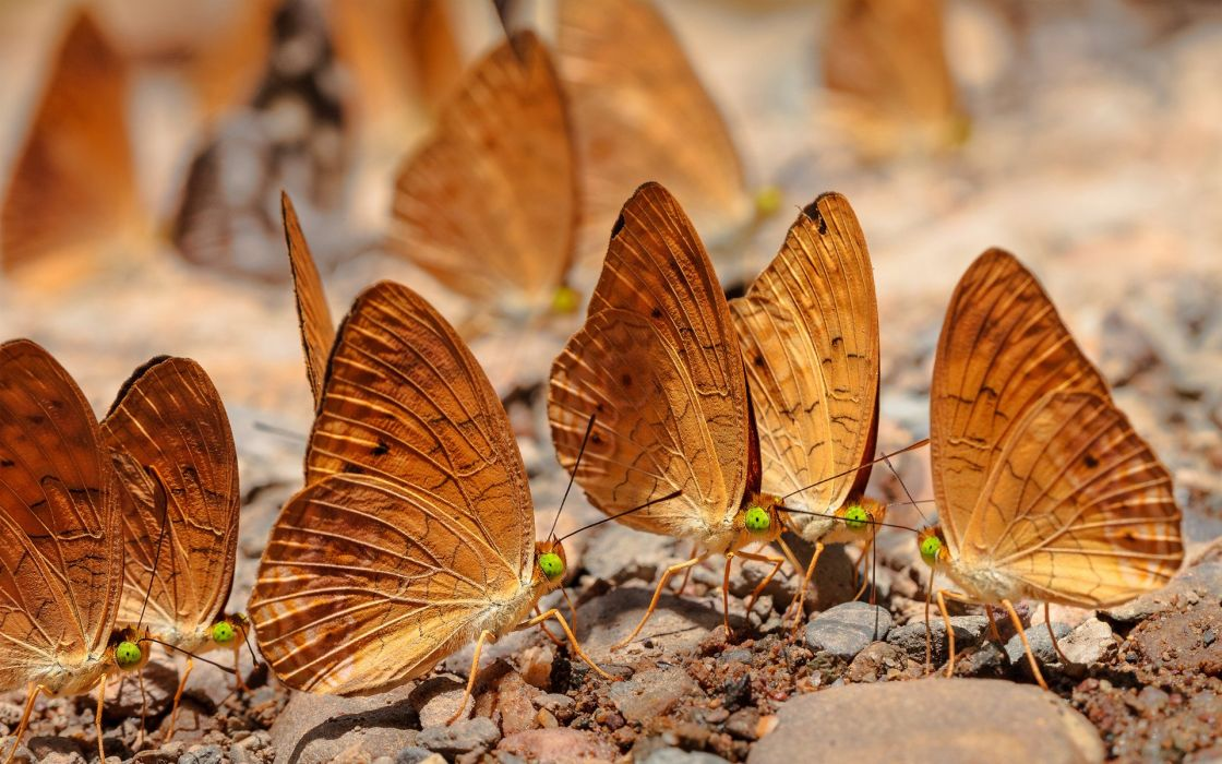 butterflies flock butterfly wallpaper