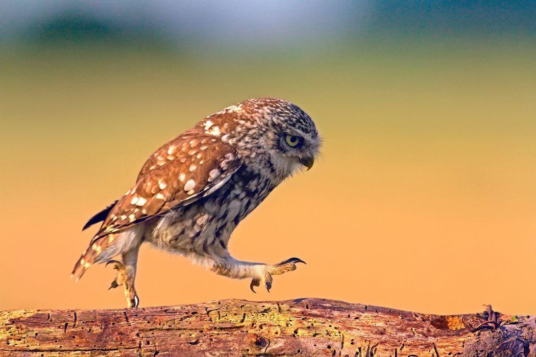 bird owl walk walks Board wood wallpaper