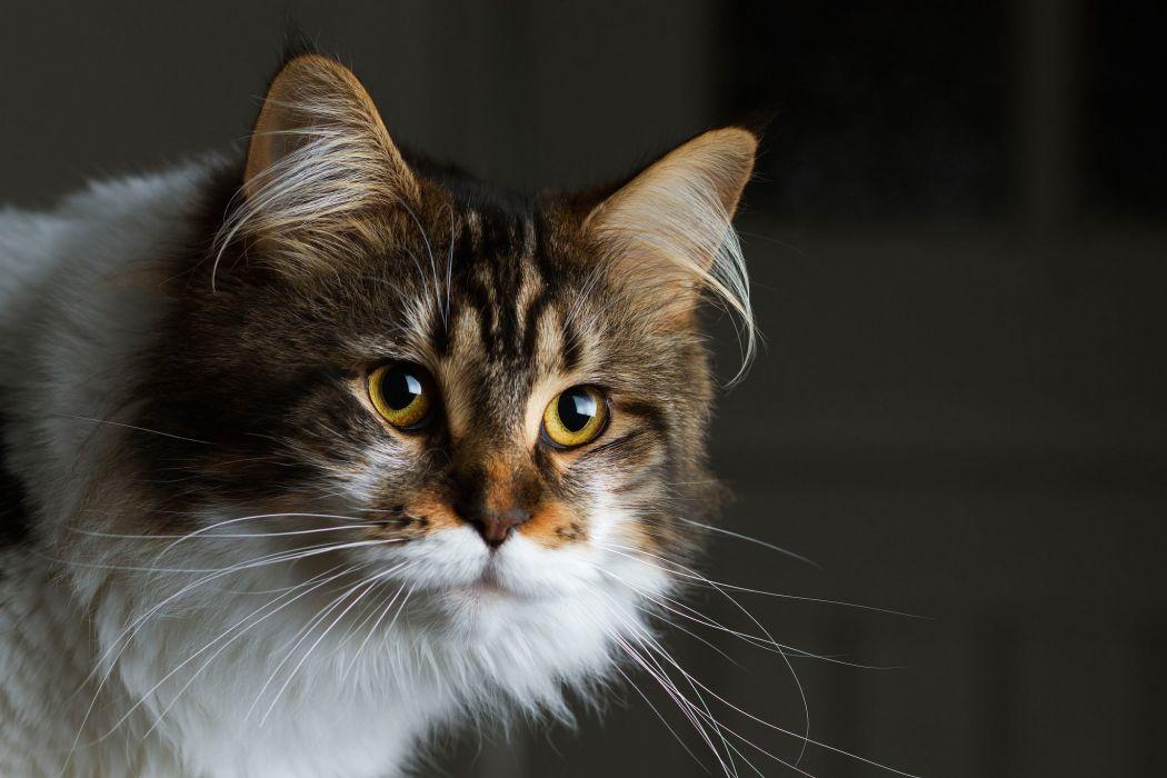 Cat fluffy face eyes animal wallpaper