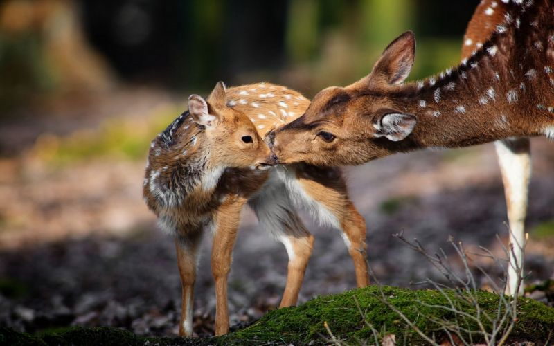 deer nature background fawn baby mother wallpaper