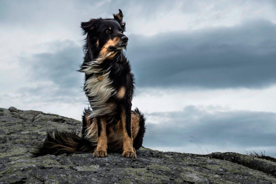 Dog majestic wind stone animal wallpaper