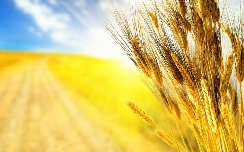 field ears ears rye wheat grass wallpaper