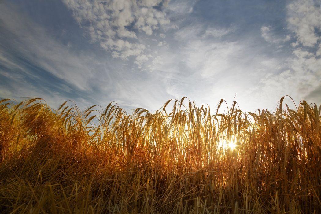 field wheat ears sunlight sky clouds wallpaper