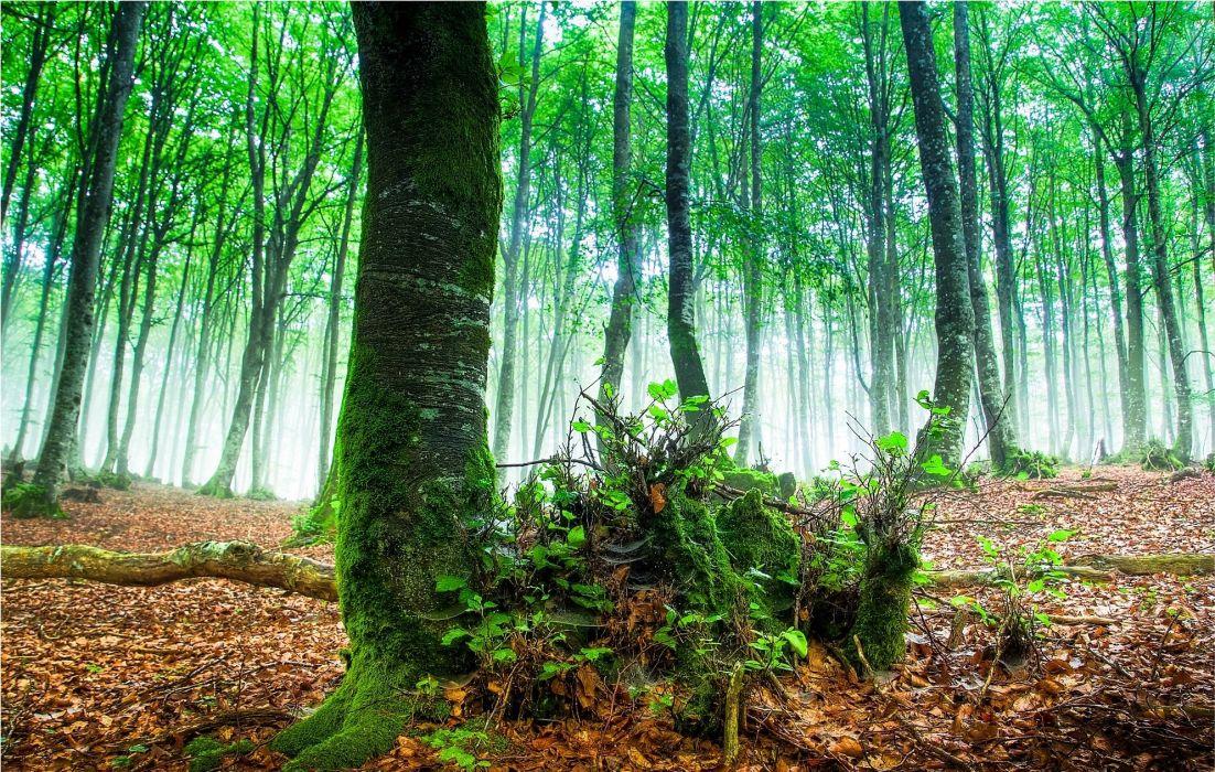 forest trees fog nature wallpaper