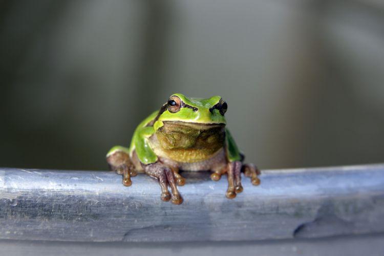 frog green eyes legs wallpaper