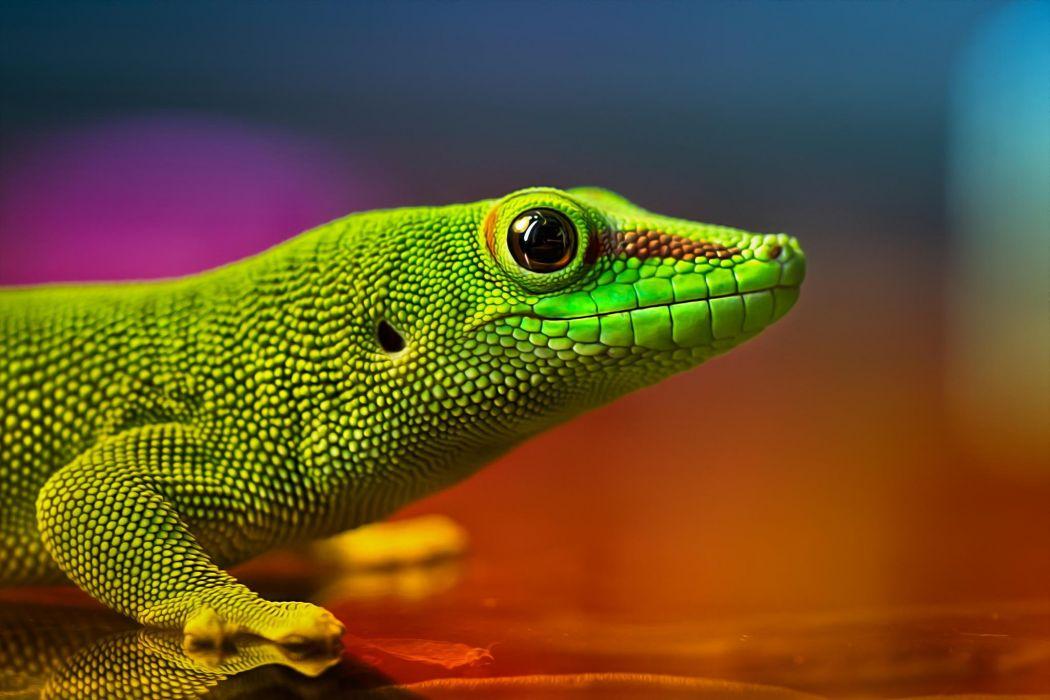 Lizard reptile green iridescent colors wallpaper