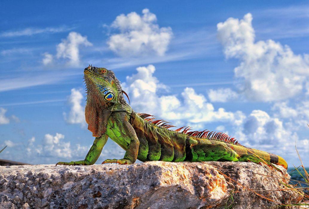 lizard iguana green South America wallpaper