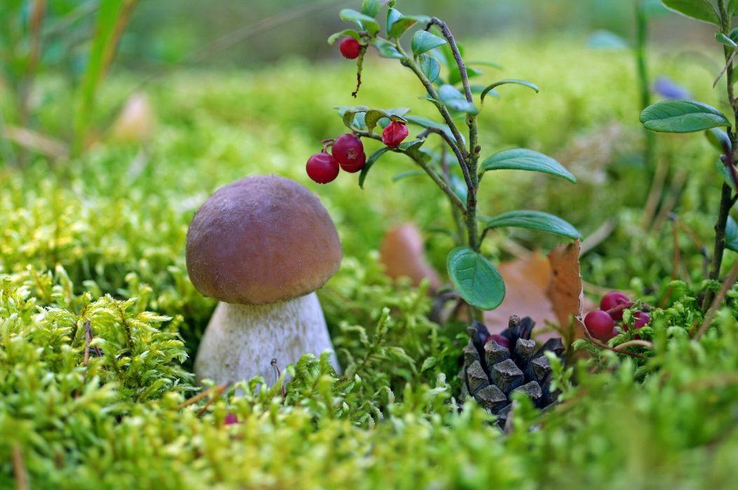 mushroom white mushroom boletus cranberries berries moss close-up wallpaper