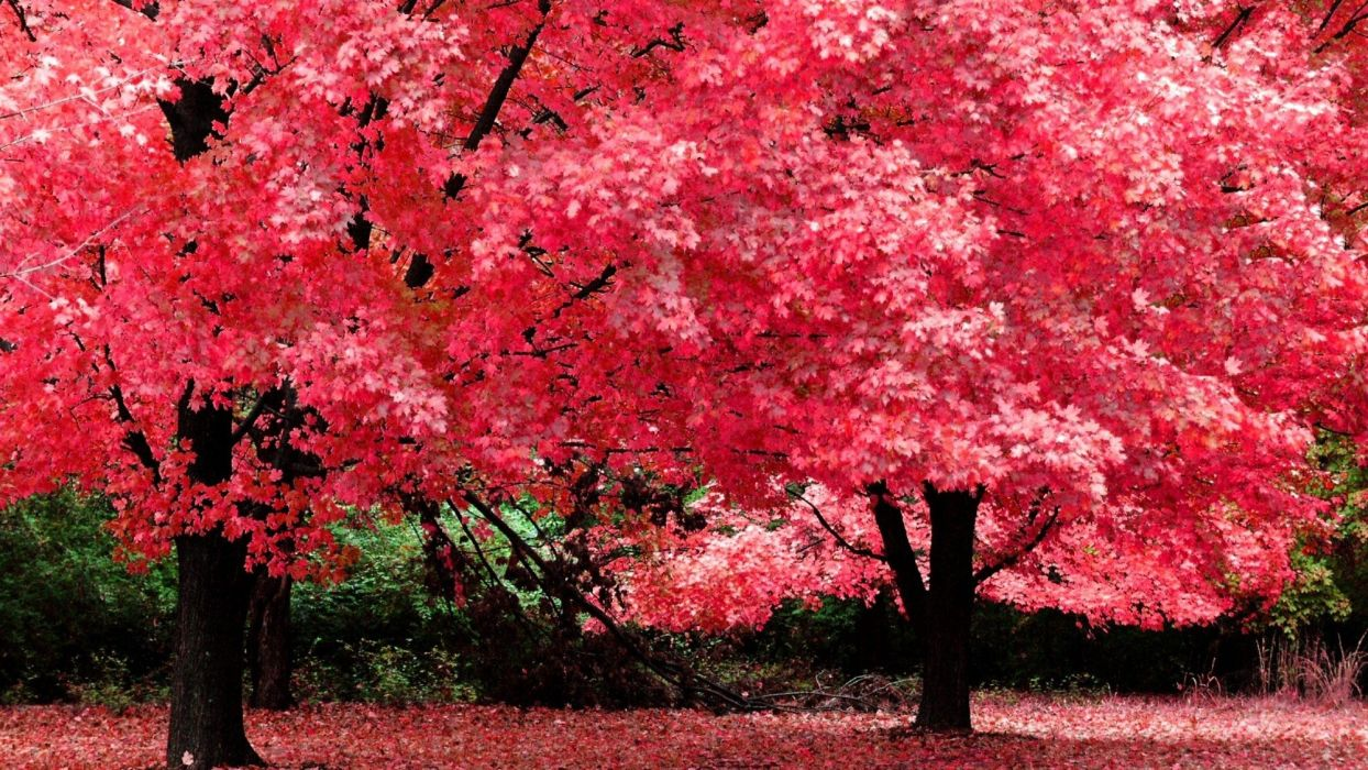 Nature tree beautiful maple autumn red wallpaper