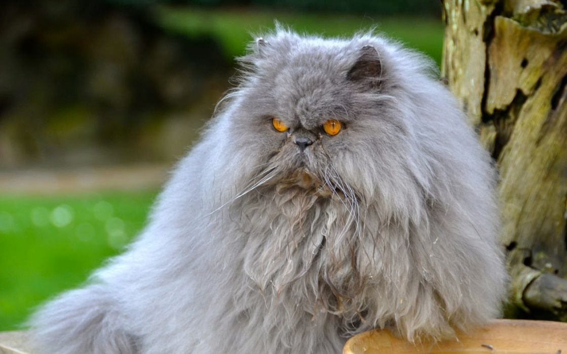 Persian cat fluffy wallpaper