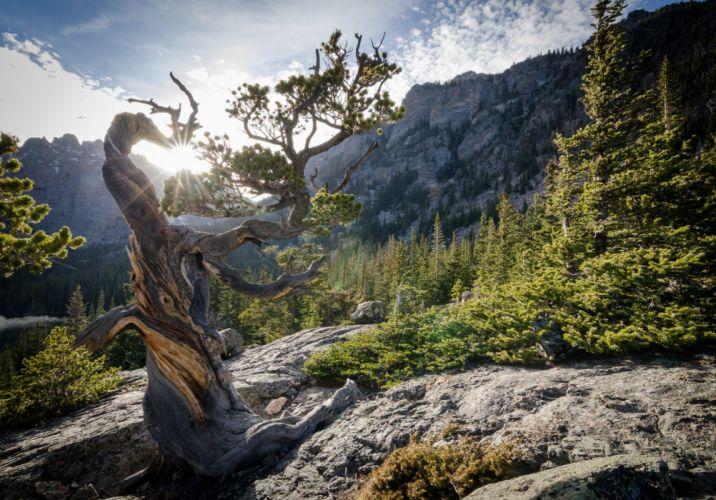 Pinus longaeva Colorado USA National Park Rocky Mountain bristlecone pine rocky mountain national park forest sun pine wallpaper