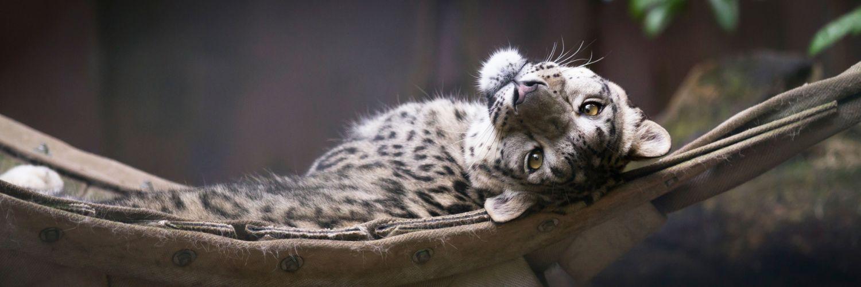 Snow leopard face eyes cat animal wallpaper
