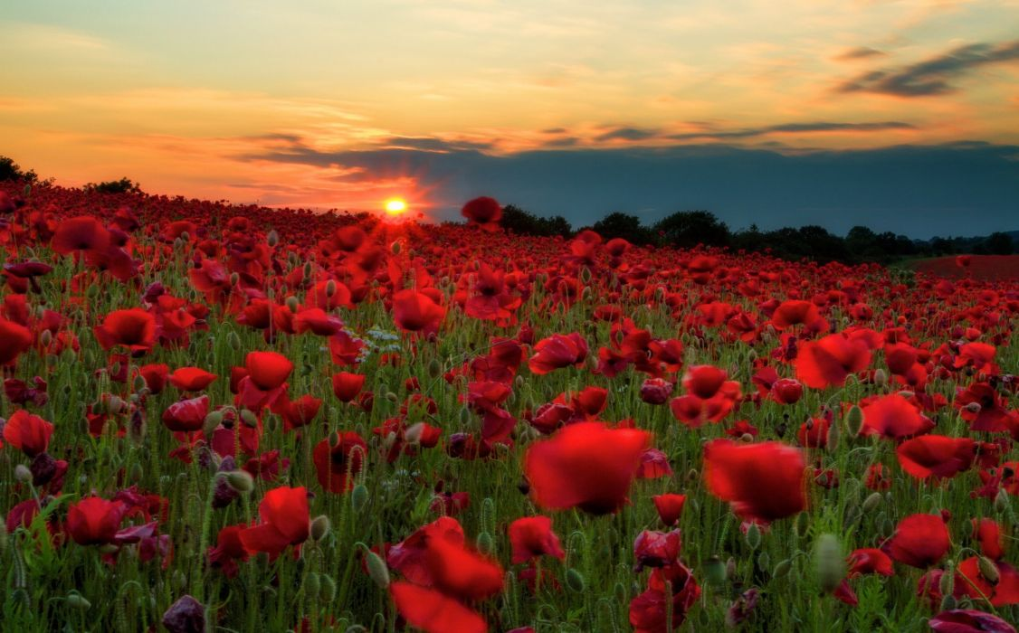 Sunrises and sunsets Fields Poppies Many Red Sun Nature Flowers wallpaper