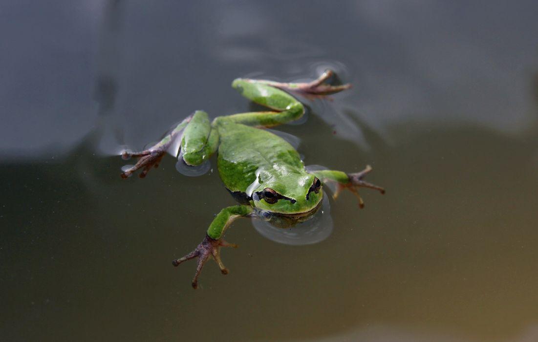 swimming frog green eyes wallpaper