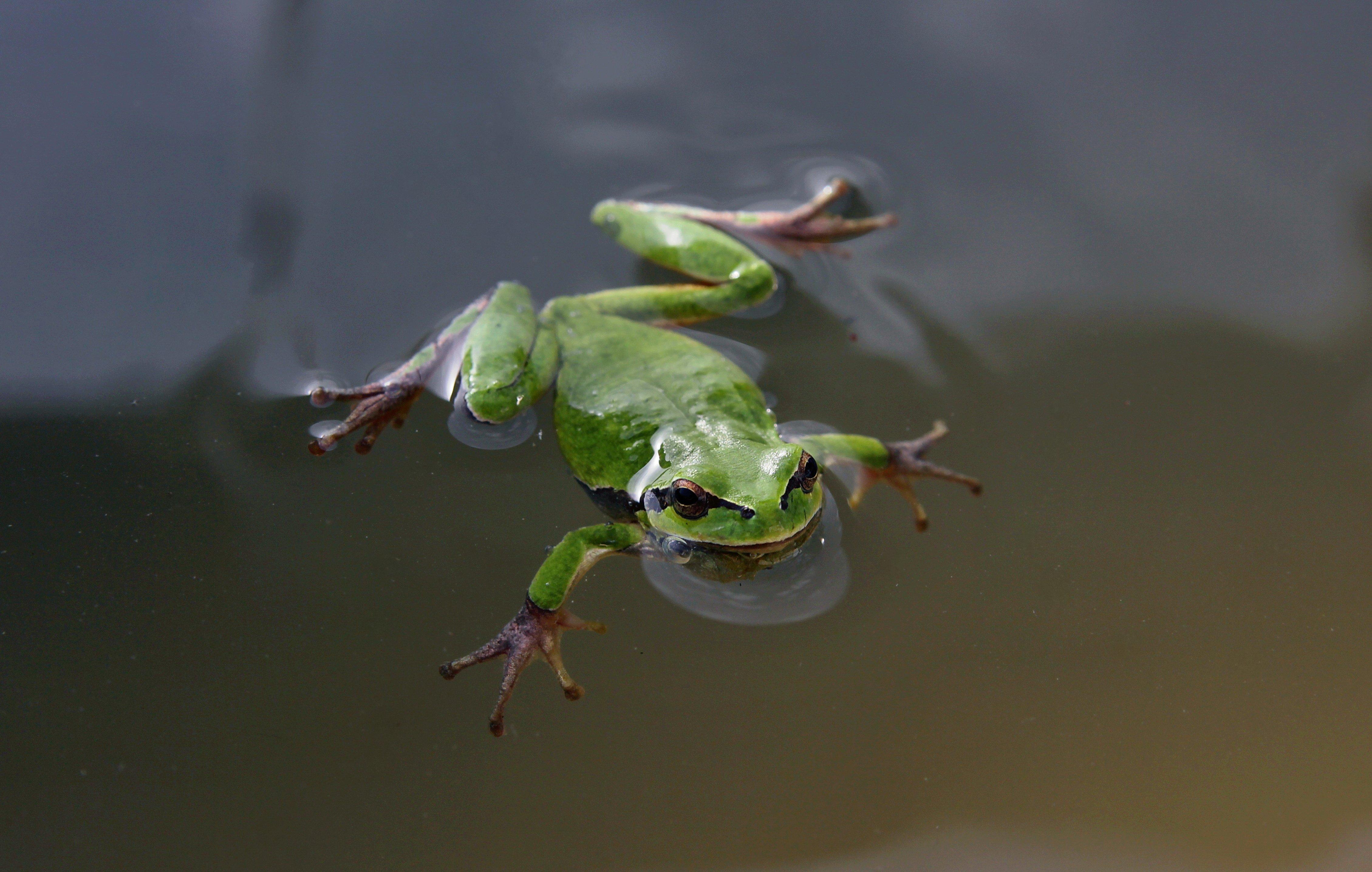 Swimming Frog Green Eyes Wallpaper 4518x2872 620610 Wallpaperup