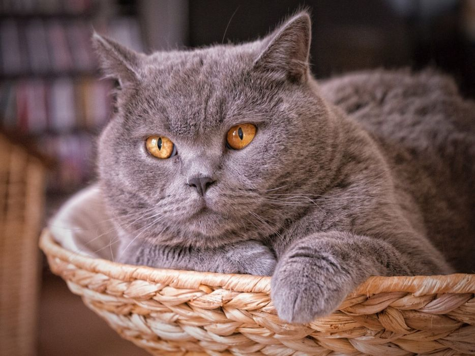 Shorthair British cat wallpaper