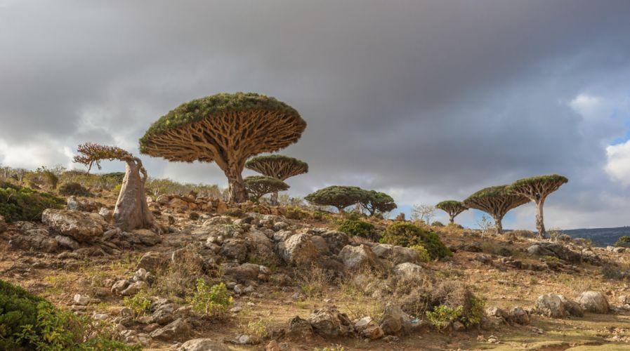 tree Dracaena cinnabari the island of Socotra Yemen wallpaper