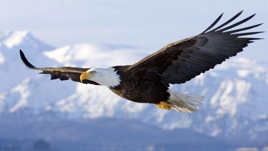 bald eagle spirit flight sky wings bird animal wallpaper