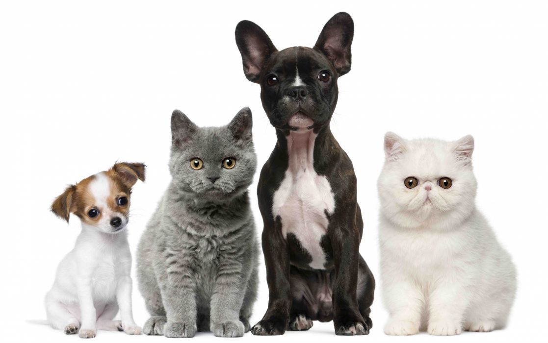 animals cats dogs puppy baby kitten wallpaper