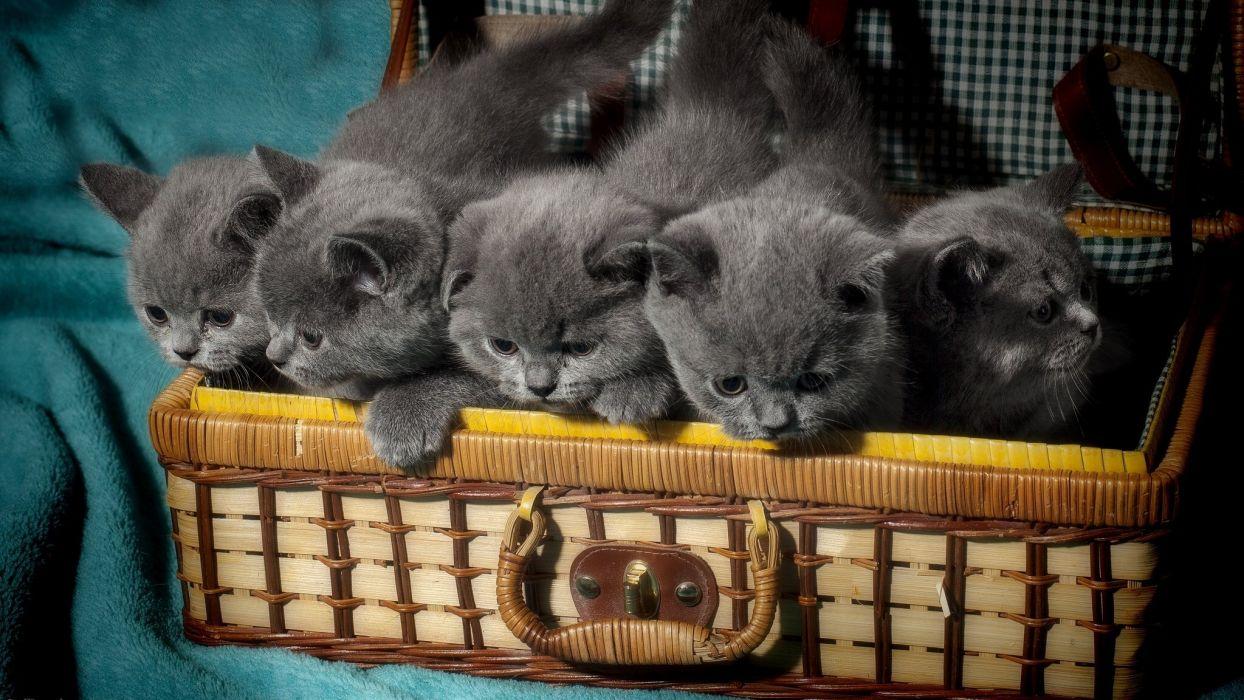 British Shorthair kitten baby wallpaper