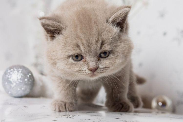 British Shorthair Brit kitten baby snout wallpaper
