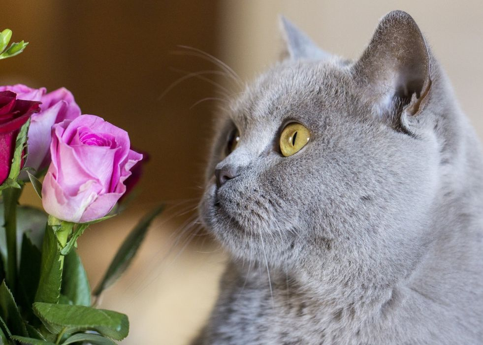 British Shorthair British cat cat face flowers roses wallpaper