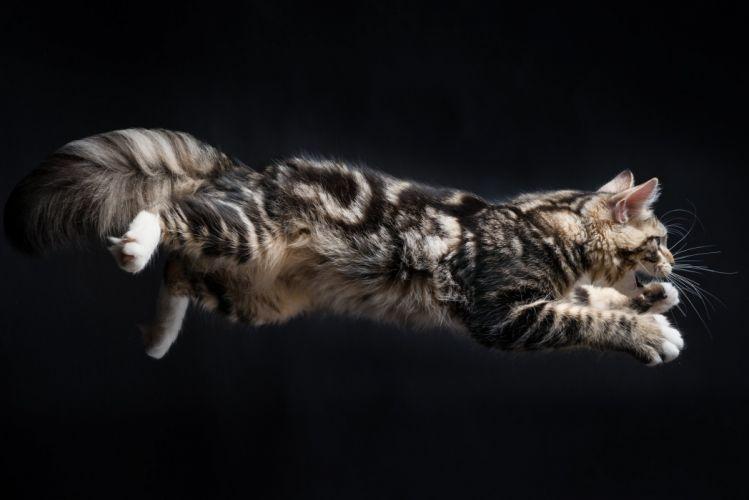 Cats Fluffy Jump Animals kitten baby wallpaper