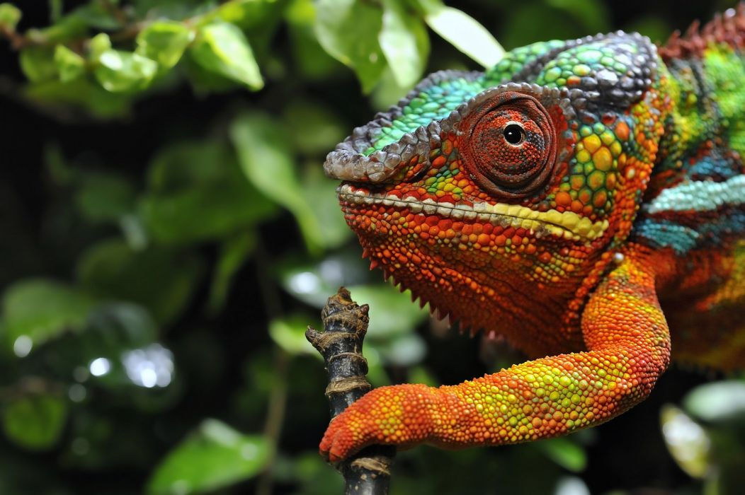 Closeup Chameleon Animals lizard wallpaper