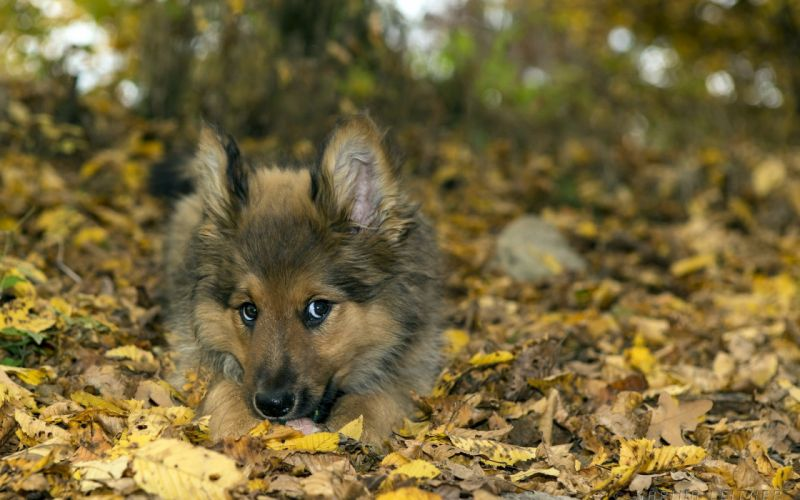 Dog puppy leaves nature animals baby autumn wallpaper