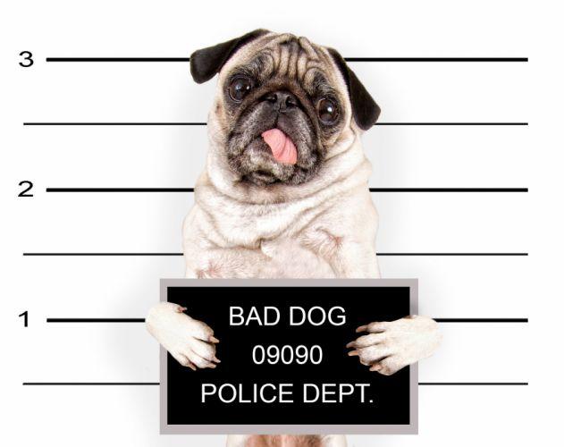 Dogs Pug Glance Animals puppy baby humor police funny sadic wallpaper