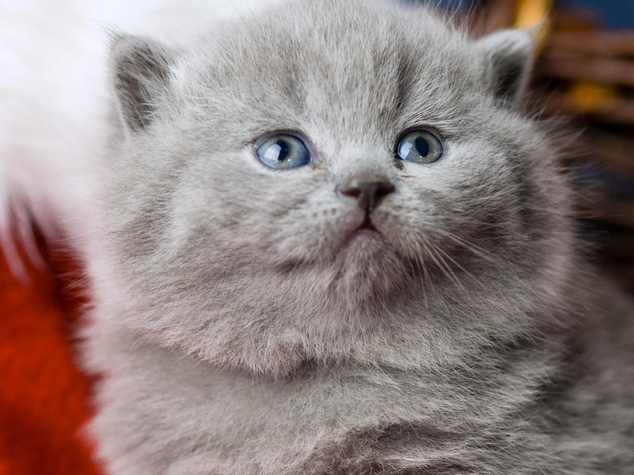 British Blue Gray Longhair Cat