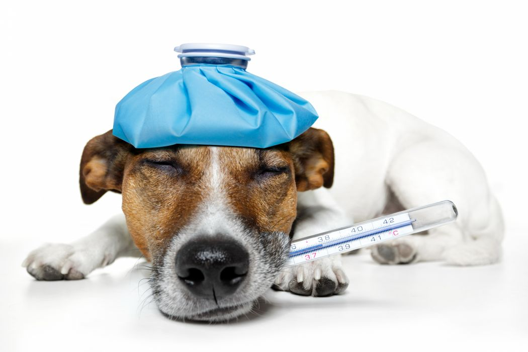 Dogs Sleep Jack Russell terrier Animals medical humor funny situation wallpaper
