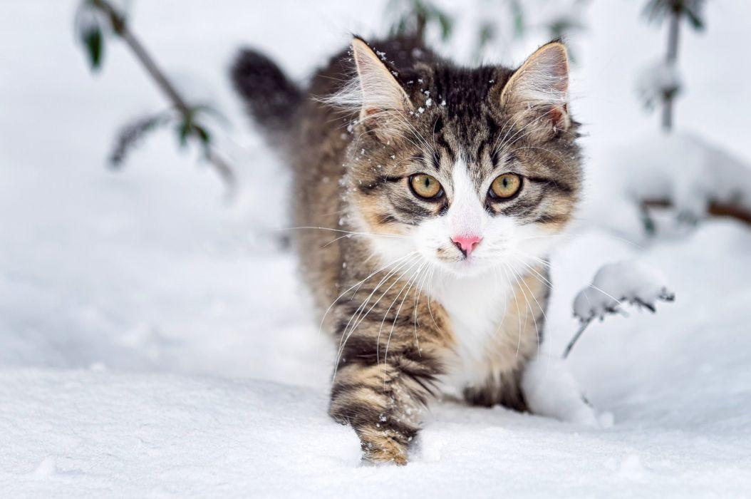 Cat fluffy face eyes snow winter nature animals wallpaper