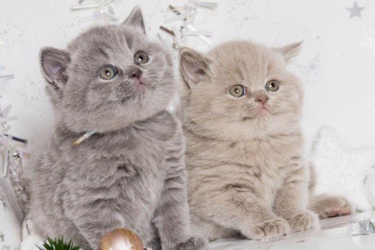 British Shorthair British kittens babies duo baby wallpaper