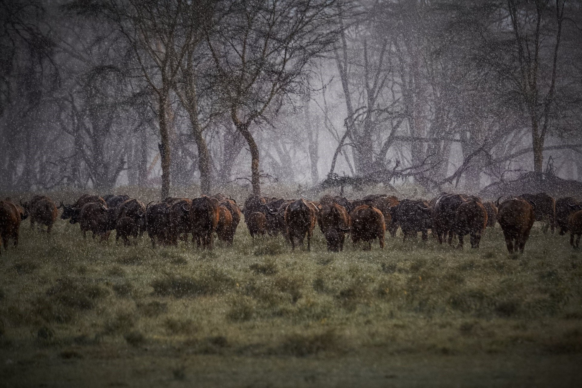 Buffalo Herd Rain Africa Storm Drops Cow Wallpaper