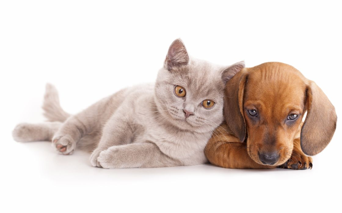 Cats Dogs Dachshund Animals baby cat dog kitten wallpaper