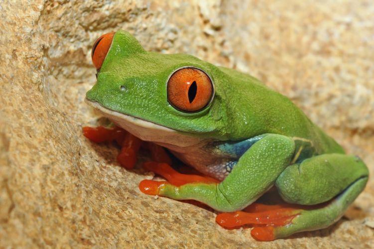 Frog eyes wallpaper