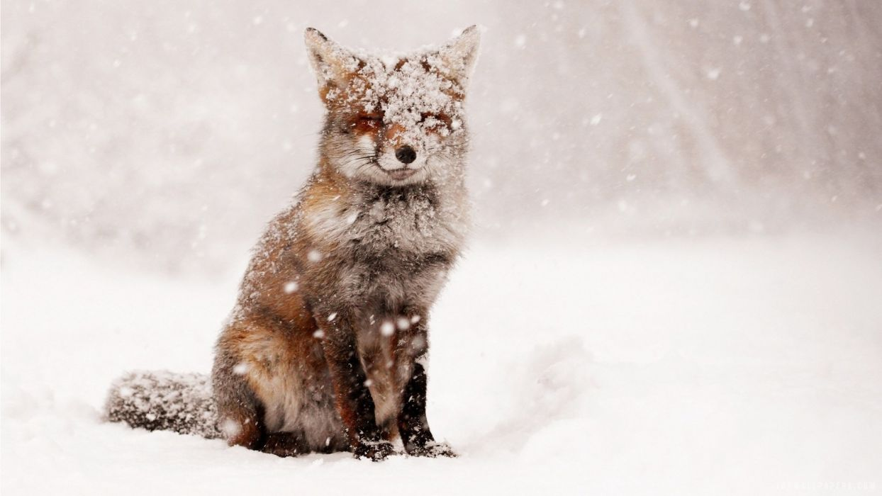 Fox Snow Winter Nature Animals Foxes Wallpaper