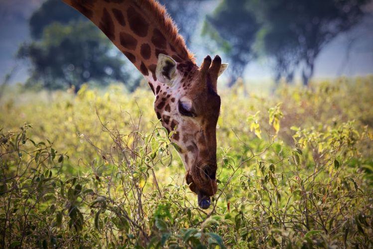 giraffe neck face tongue plants leaves breakfast Africa wallpaper