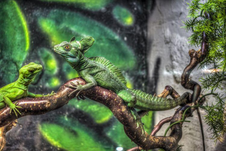jurassic park Iguana lizard wallpaper