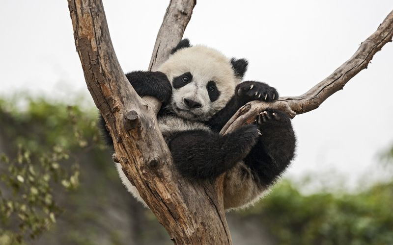 panda bear tree baby cub wallpaper