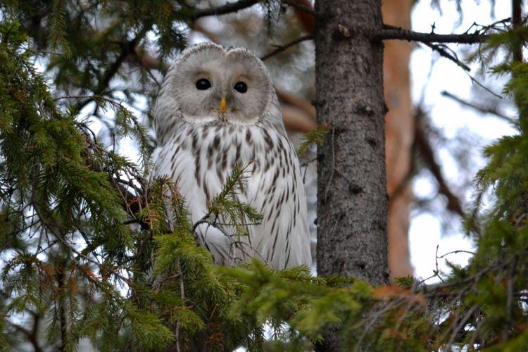 owl tree forest wallpaper