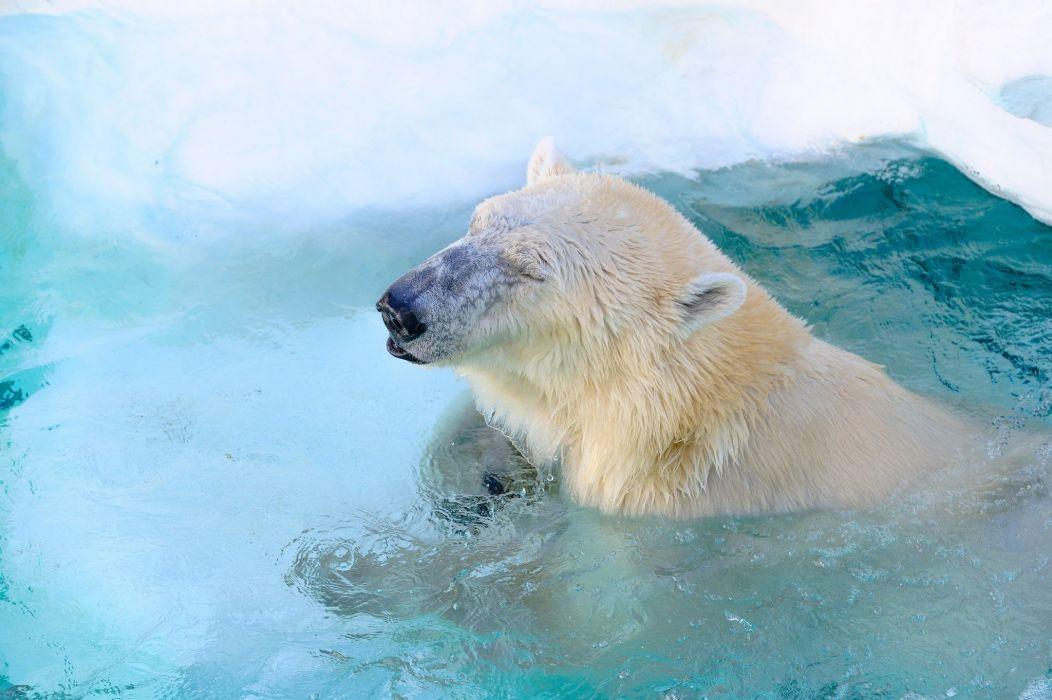 polar bear bear wolf zoo face pool swimming wallpaper
