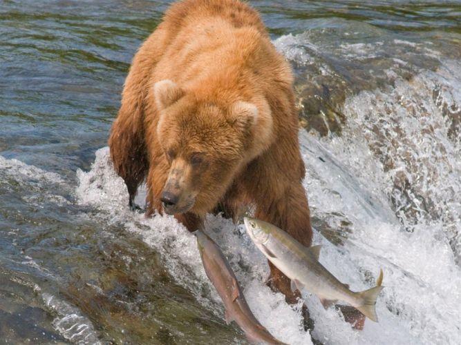 Predator River Bear wallpaper