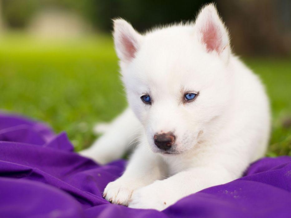 Siberian Husky Husky Dog Puppy White Blue Eyes Baby Wallpaper