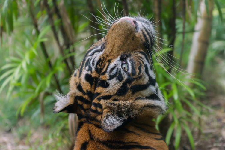 tiger wild cat carnivore muzzle whiskers wallpaper