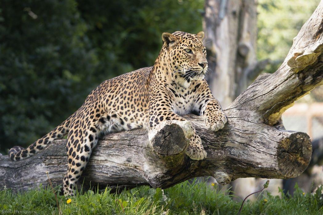 leopard wild cat predator spots muzzle wallpaper