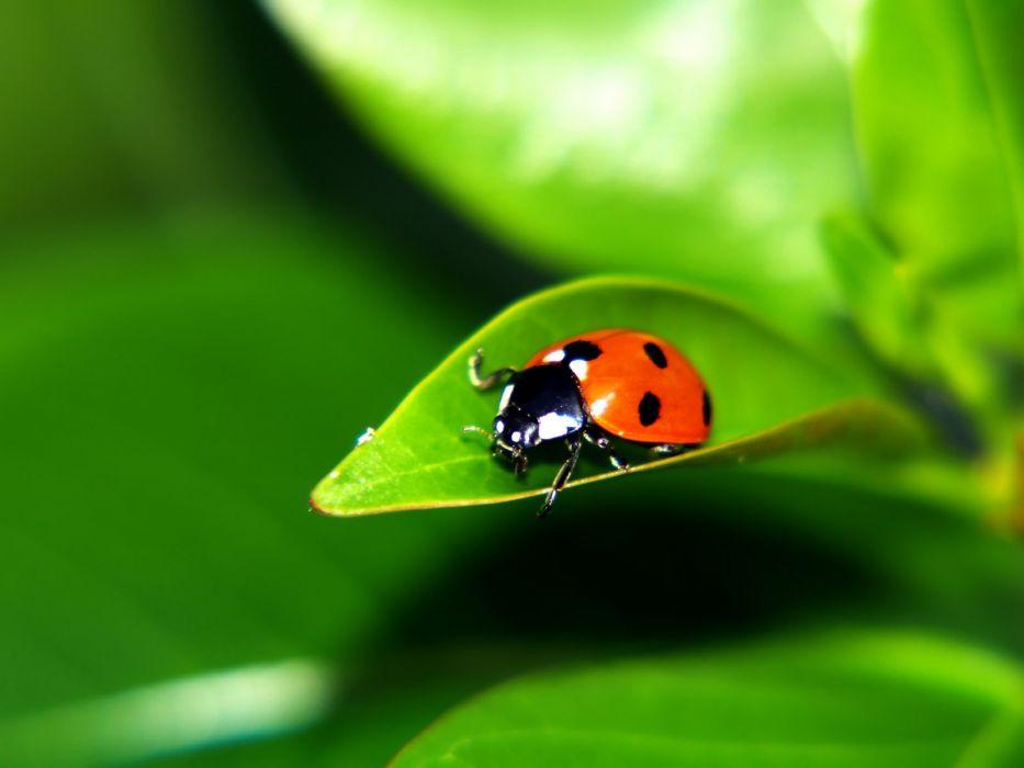 mariquita-insectos-animales-hoja-naturaleza wallpaper