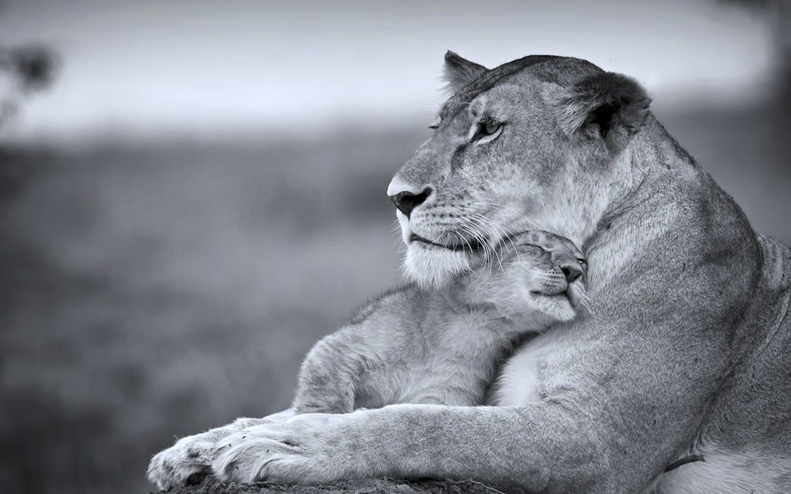 cats wild Lioness mother son cub Predators animales life Tenderness wallpaper