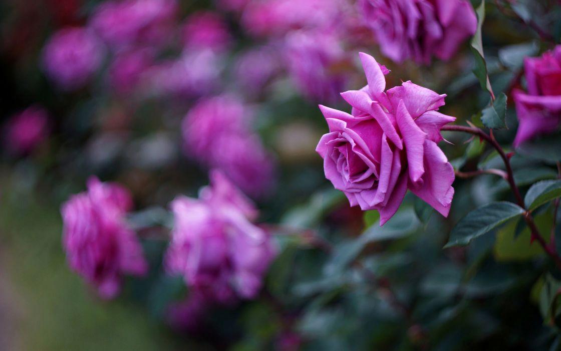 roses flowers spring love beuaty romance wallpaper